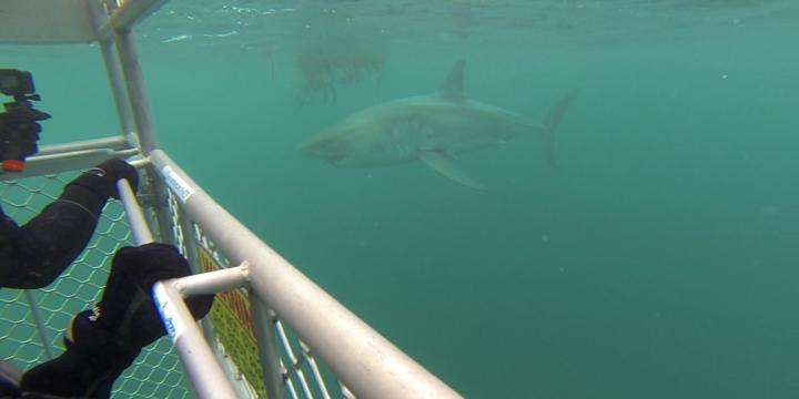 Shark Cage Diving Stewart Island, NZ
